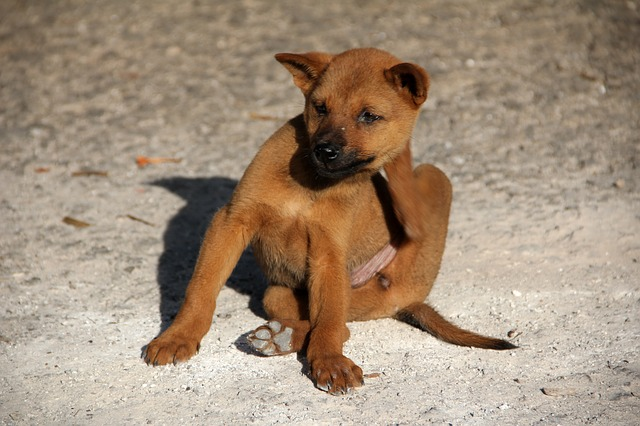 Собака с атопическим дерматитом